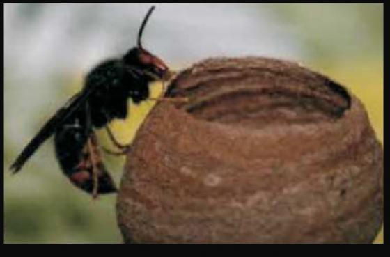 Campaña para la retirada de nidos de Avispa Velutina Reina