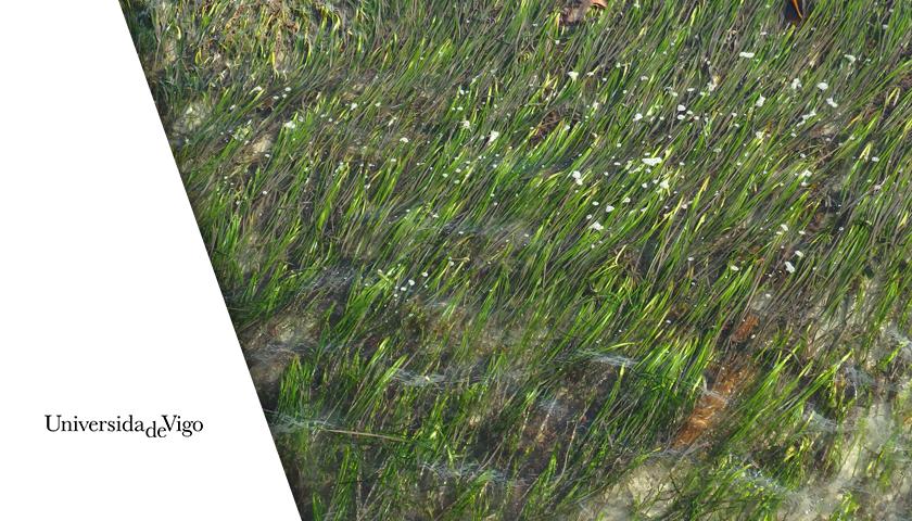 Redondela comparte una jornada participativa con investigadores de la Universidad de Vigo que estudian la convivencia de las actividades humanas con las  pradeiras marinas